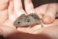 лабораторная мышь лечение диабета